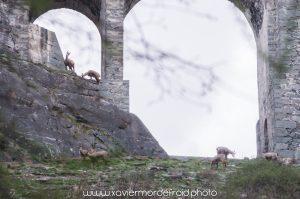Les chamois au bord du fort de Fenestrel - Xavier Mordefroid